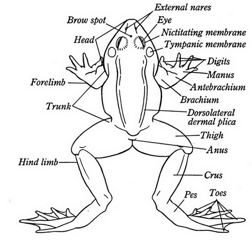 Frog Biology Diagram Trusted Wiring Diagram